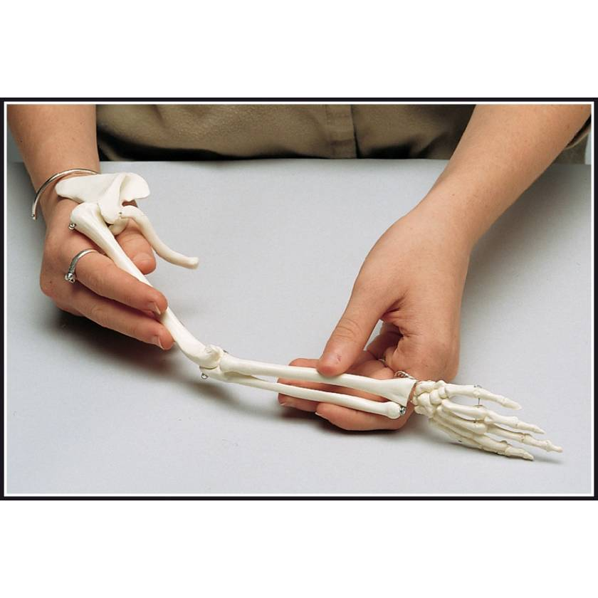 Premier Mini-Arm Skeleton with Shoulder Girdle & Hand