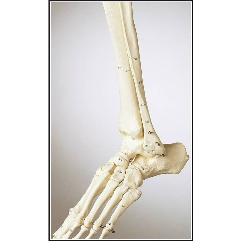 Premier Numbered Leg Skeleton with Hip, Ankle and Foot