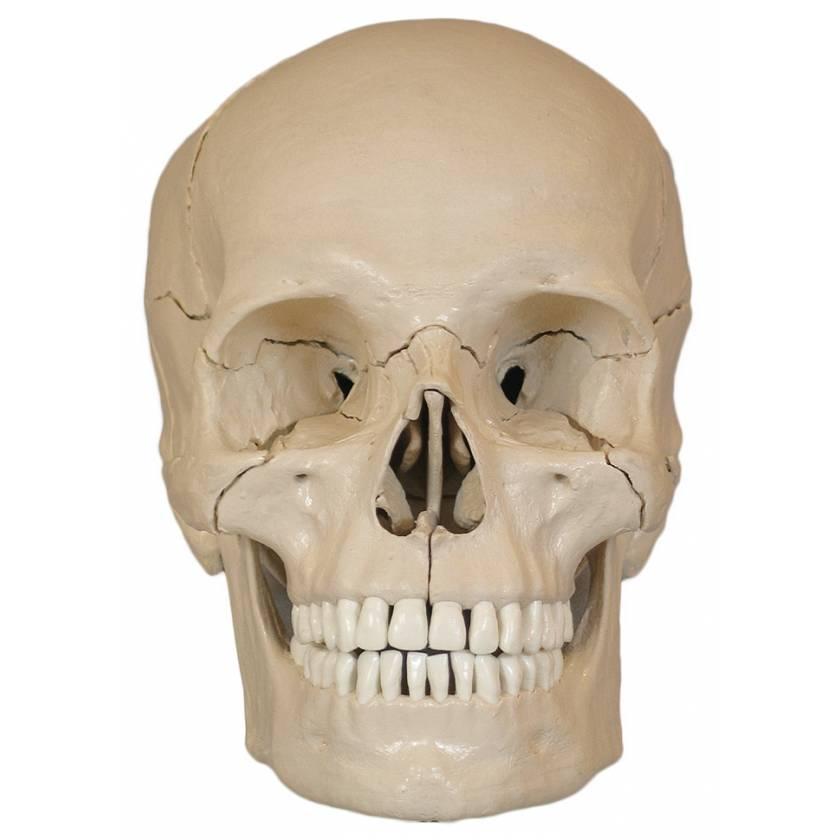 18-Piece Take-Apart Skull