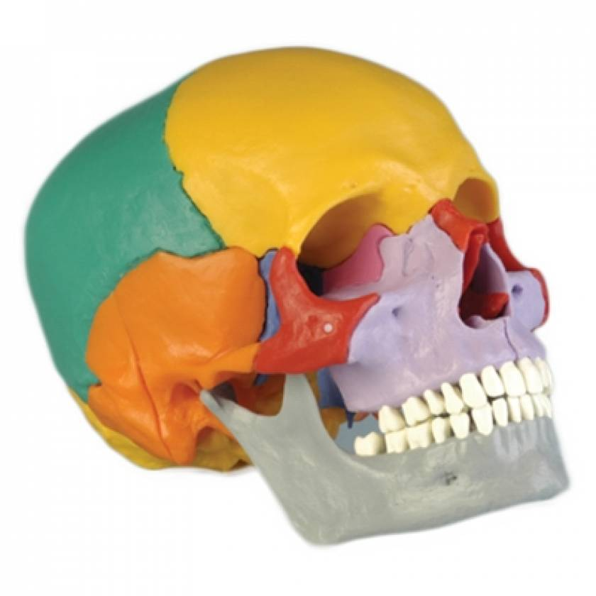 18-Piece Take-Apart Color Coded Skull
