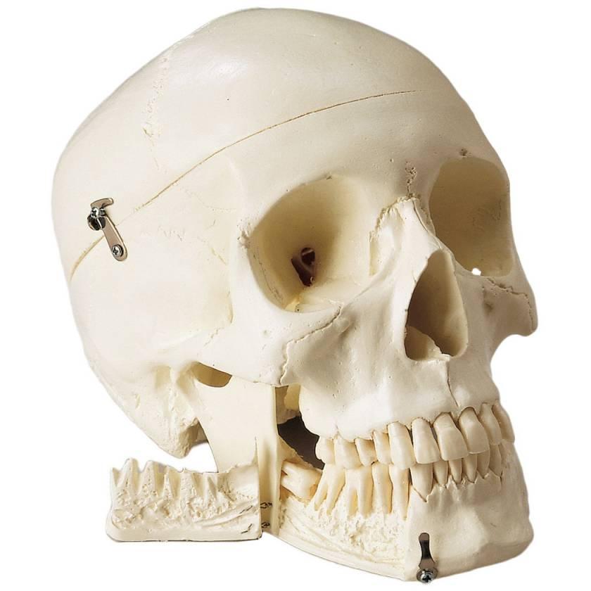 Standard Premier 4-Part Skull