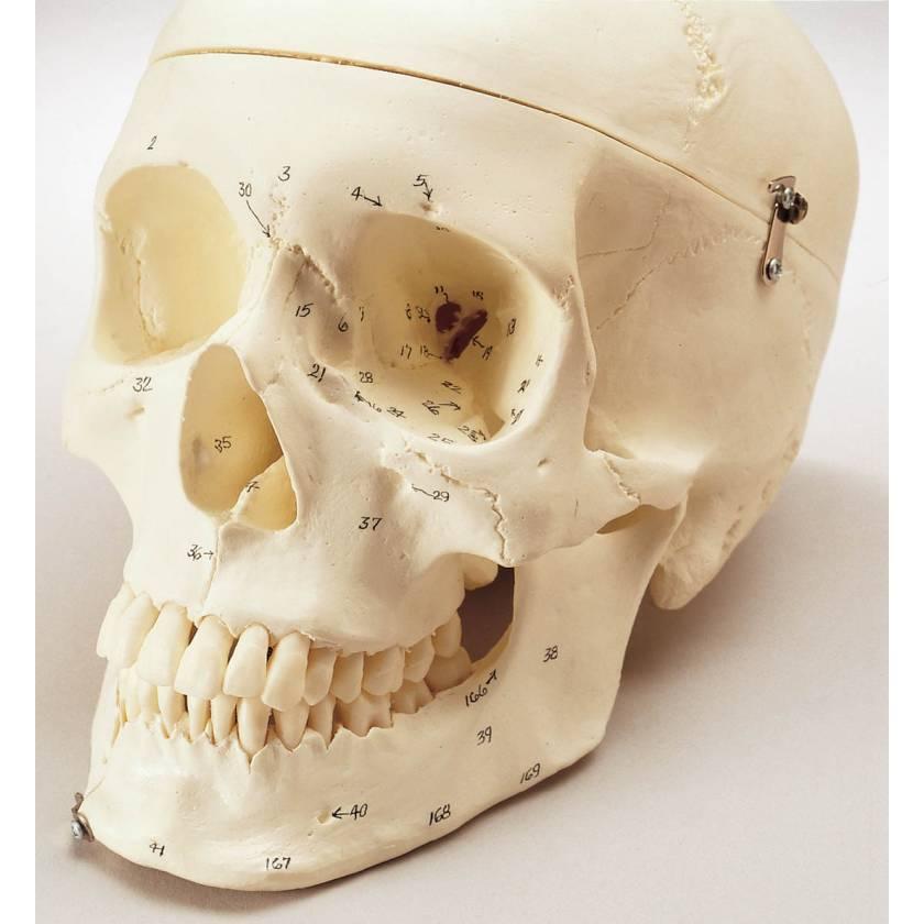 Premier Numbered Medical Demonstration Skull with Locking Case
