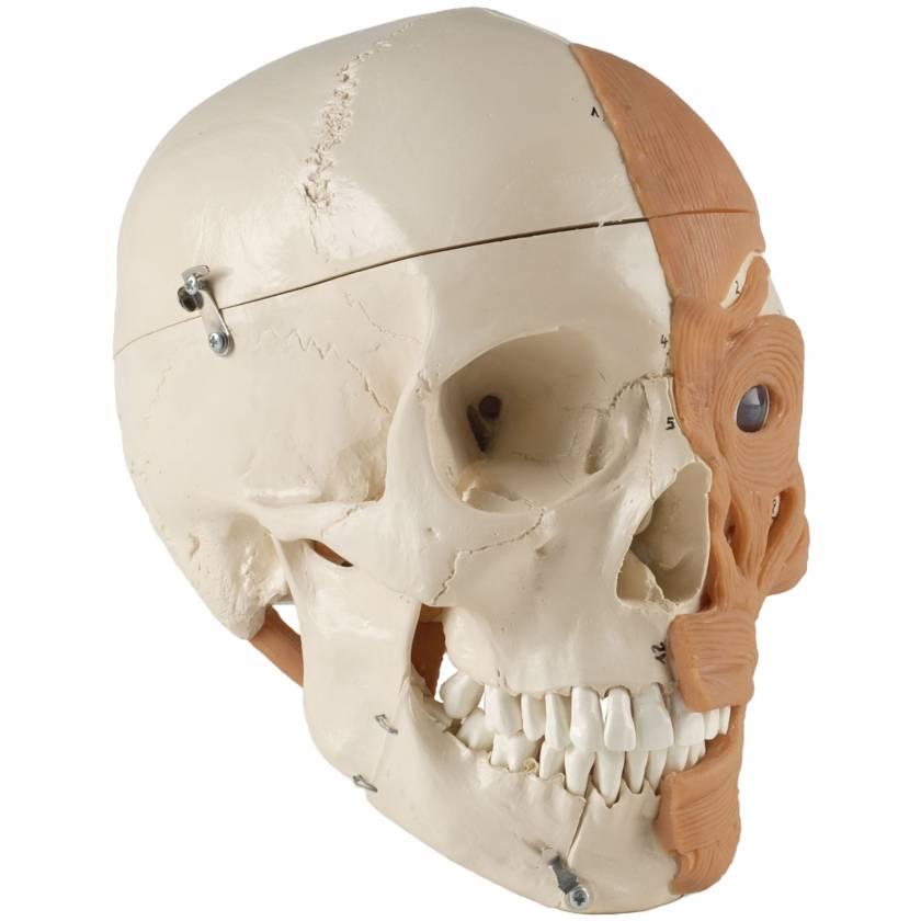 Premier Muscled Skull