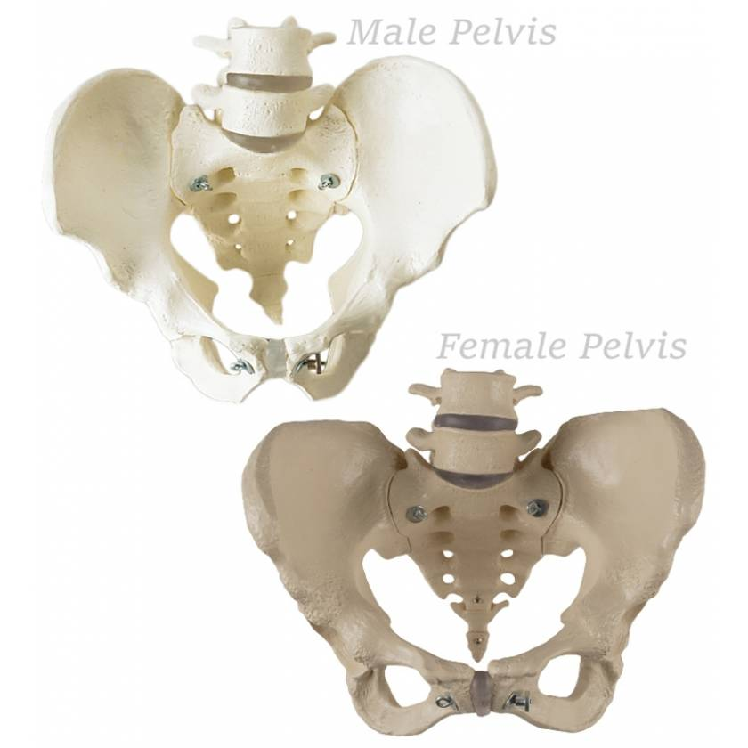 Premier Male & Female Pelves Set