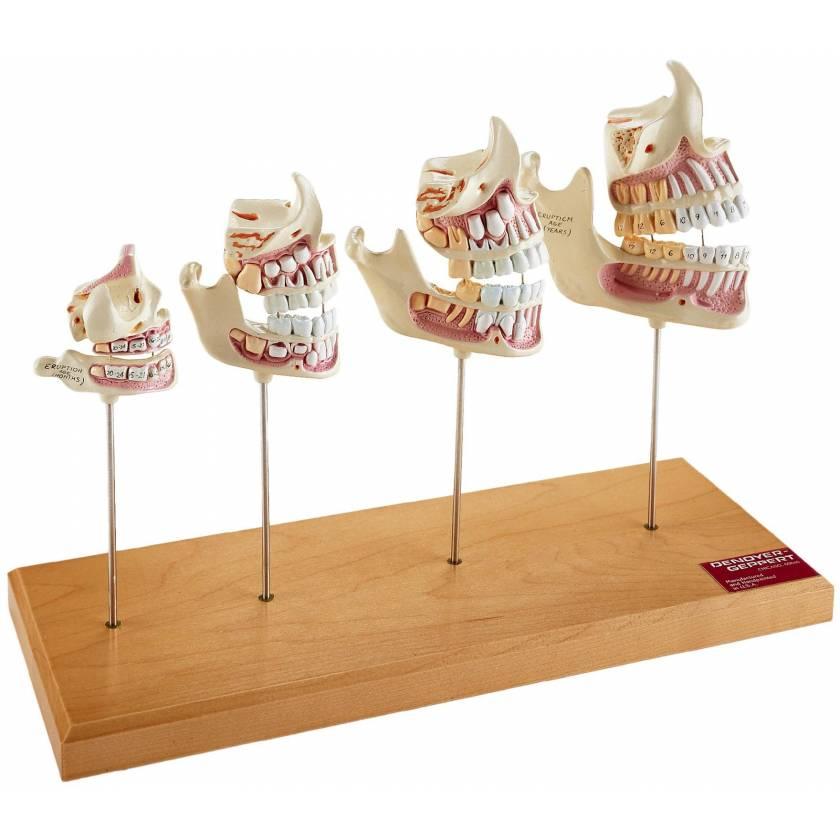 Teeth and Jaw Development Set