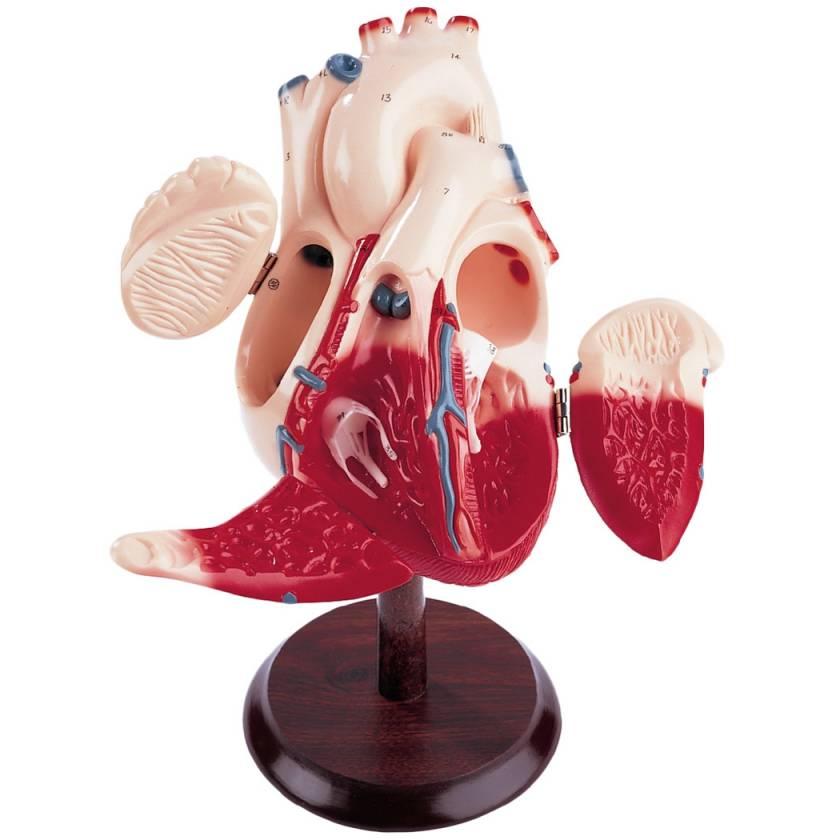 Giant Hands-On Heart Model