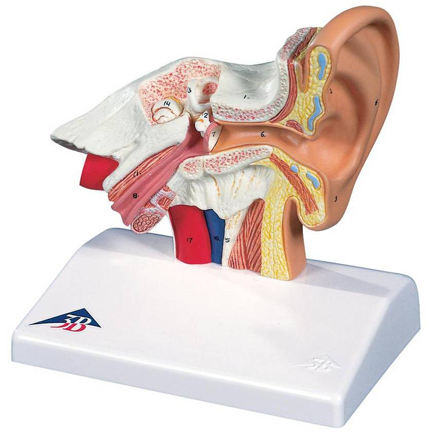 Ear Model for Desktop - 1.5 Times Life-Size