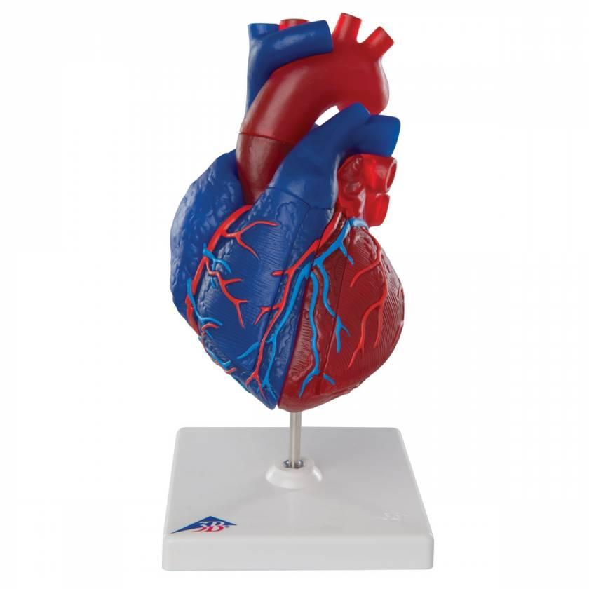 Magnetic Heart model - Life Sized