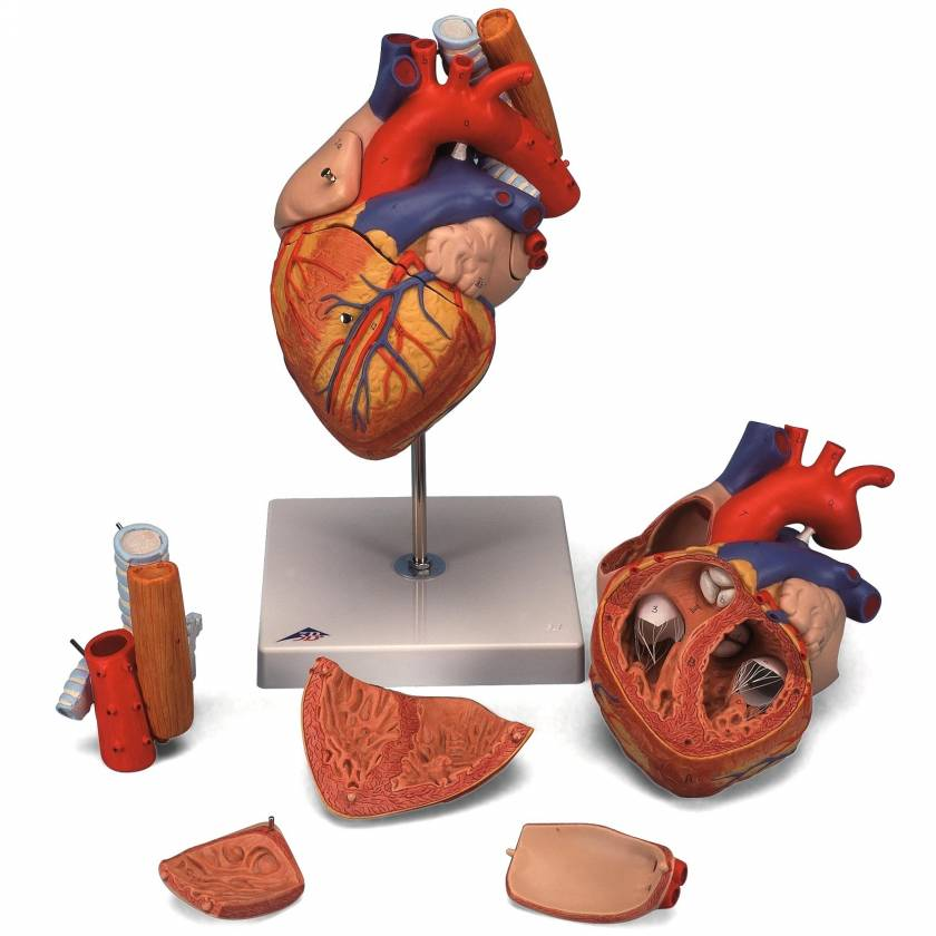 Heart Model with Esophagus and Trachea 2 Times Life-Size 5-Part