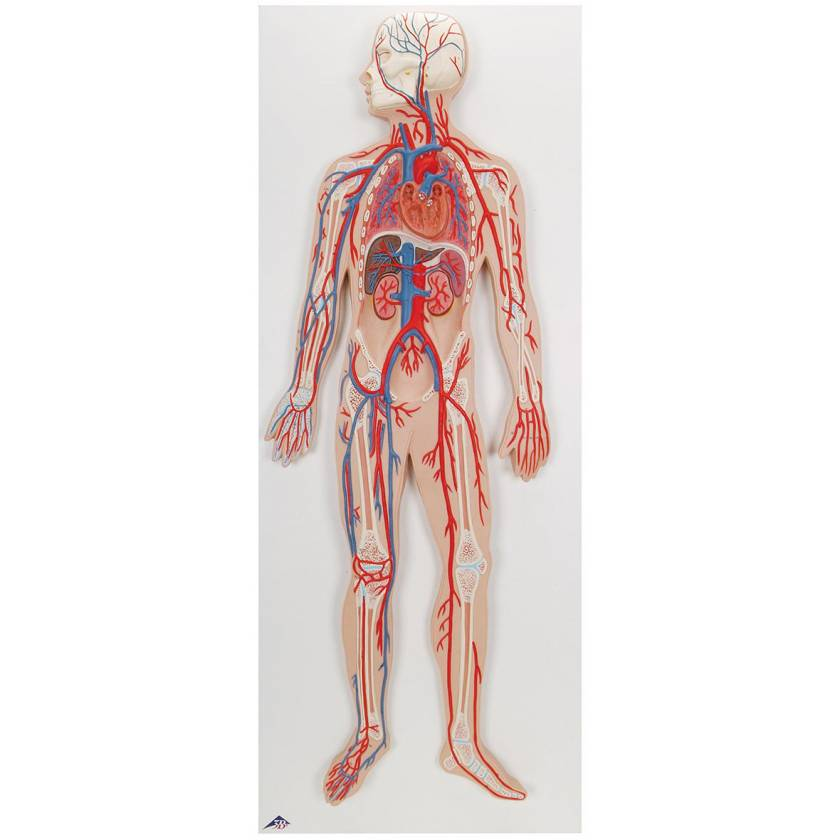 Circulatory System Model Half Life-Size