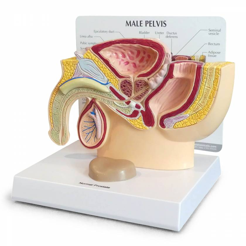 Male Pelvis Section with Prostate Model