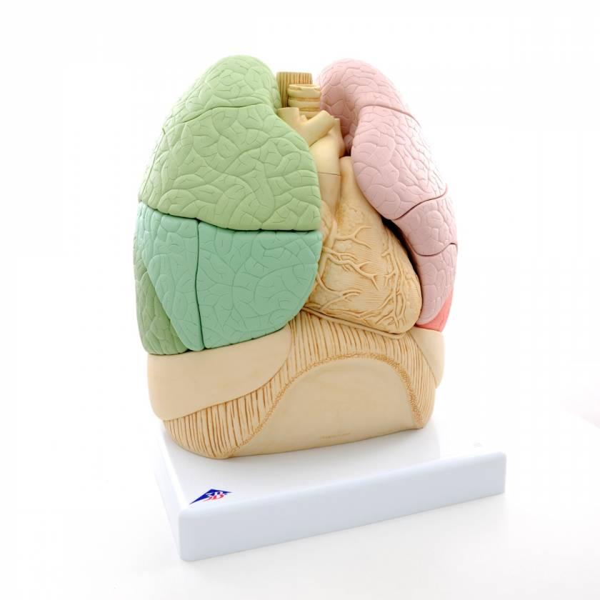 Segmented Lung Model