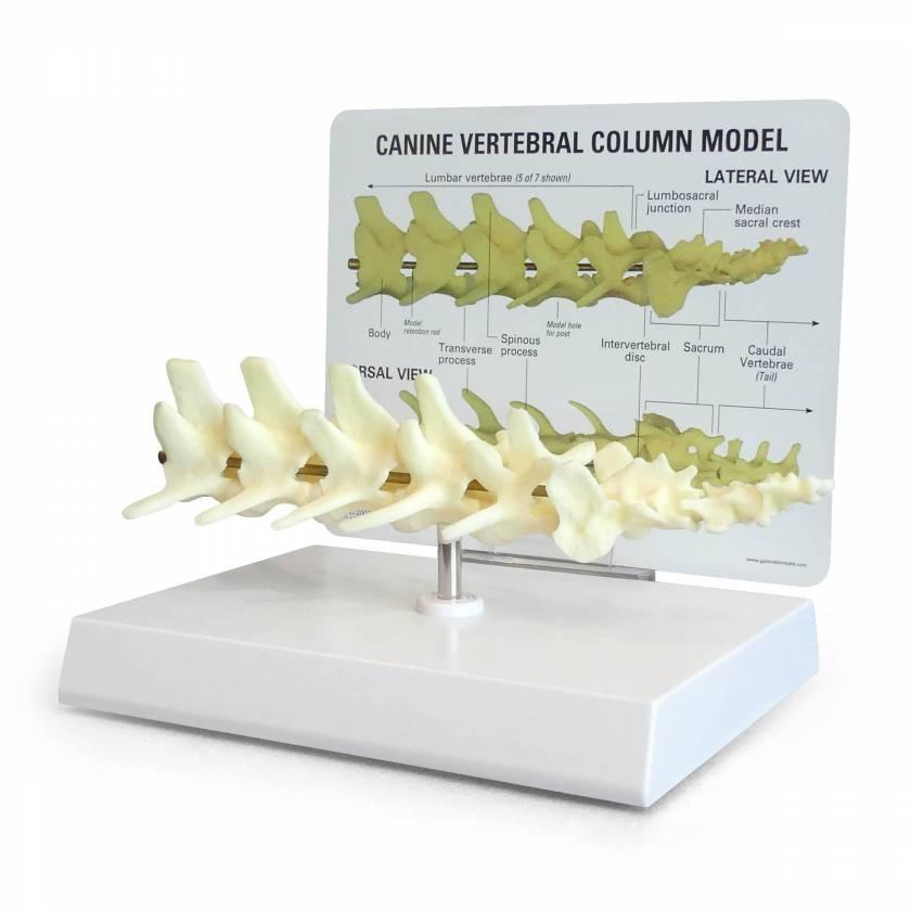 Canine 5-Piece Vertebrae with Sacrum Model