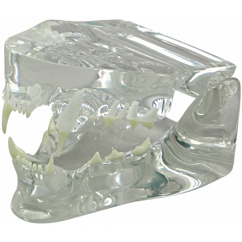 Feline Jaw Model - Clear
