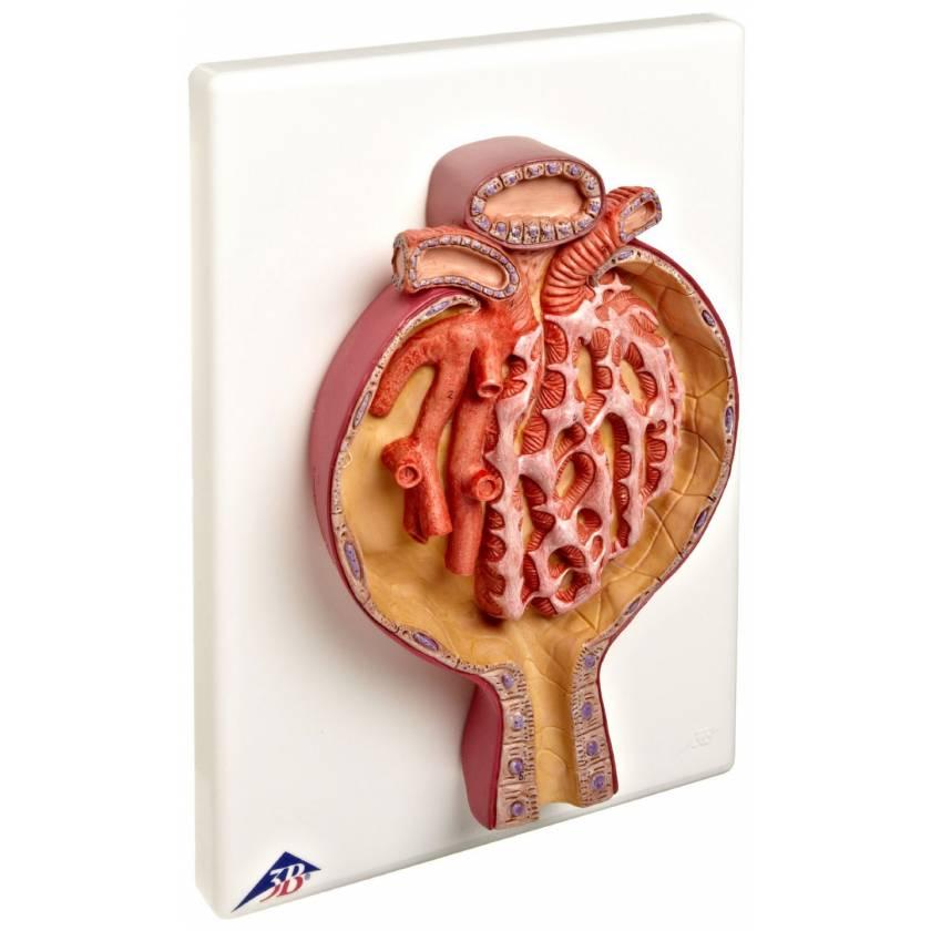 Malpighian Corpuscle of Kidney - 700 Times Full-Size