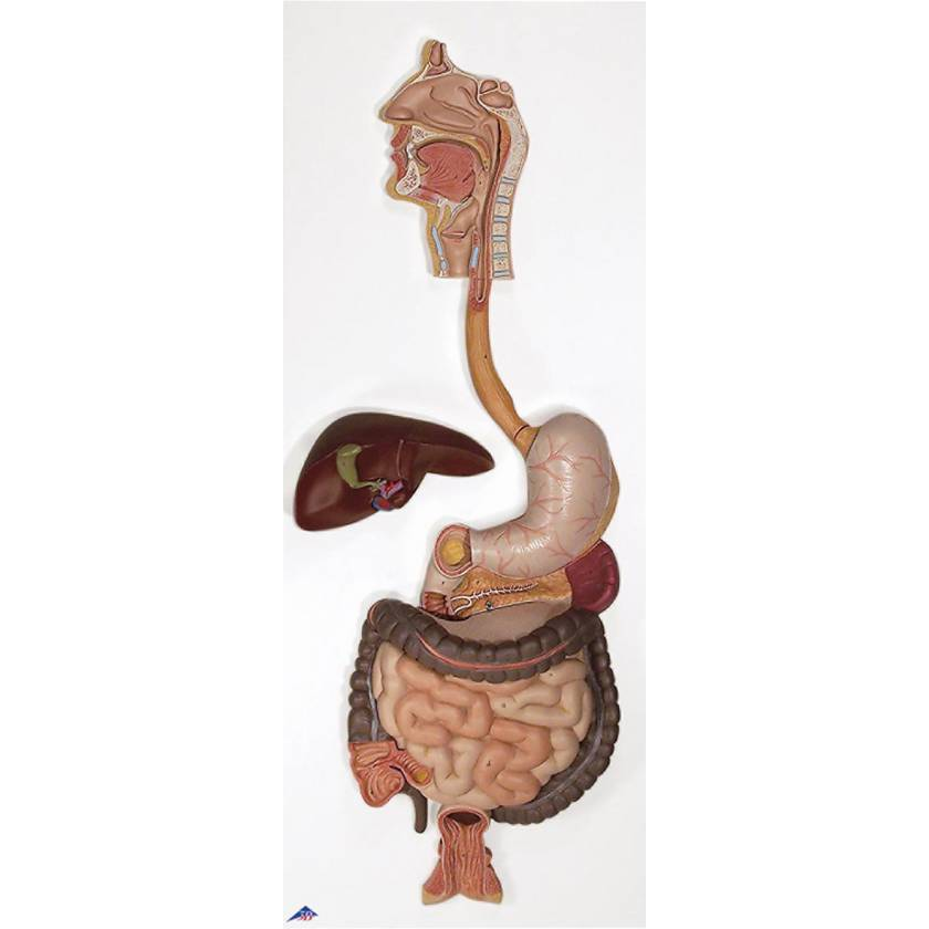 Digestive System Model 2-Part