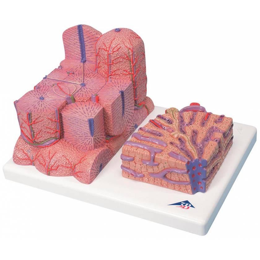 MICROanatomy Liver Model