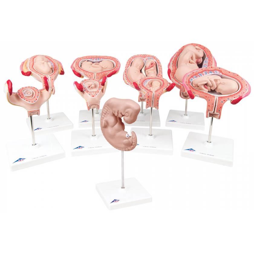 Deluxe Pregnancy Series - 9 Models