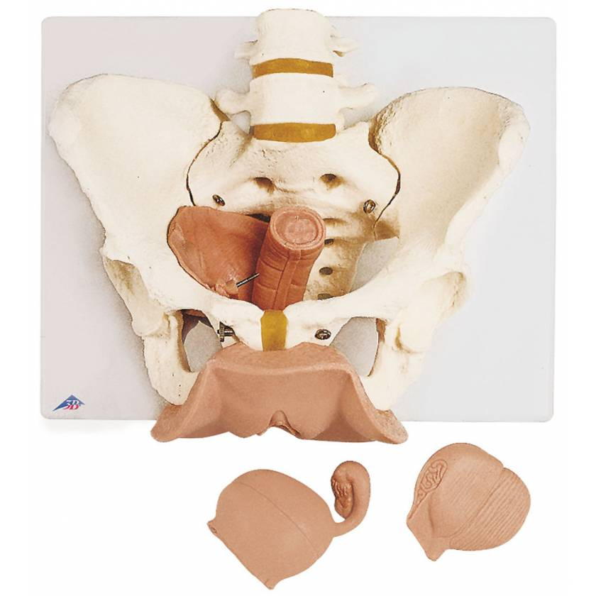 Female Pelvis Skeleton with Genital Organs Model 3-Part