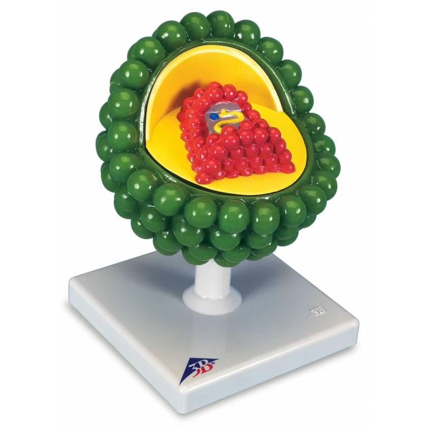 AIDS-Virus Model