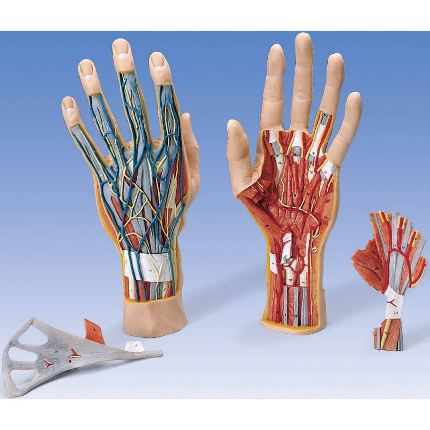 Internal Hand Structure Model 3-Part