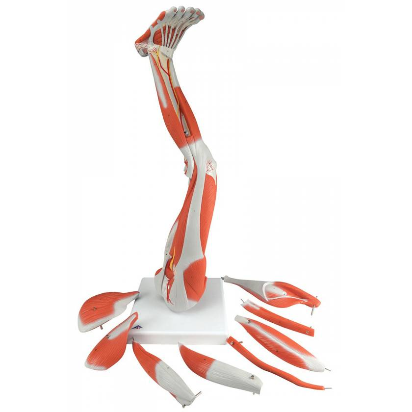Muscles of the Left Leg Model 9-Part  3/4 Life-Size