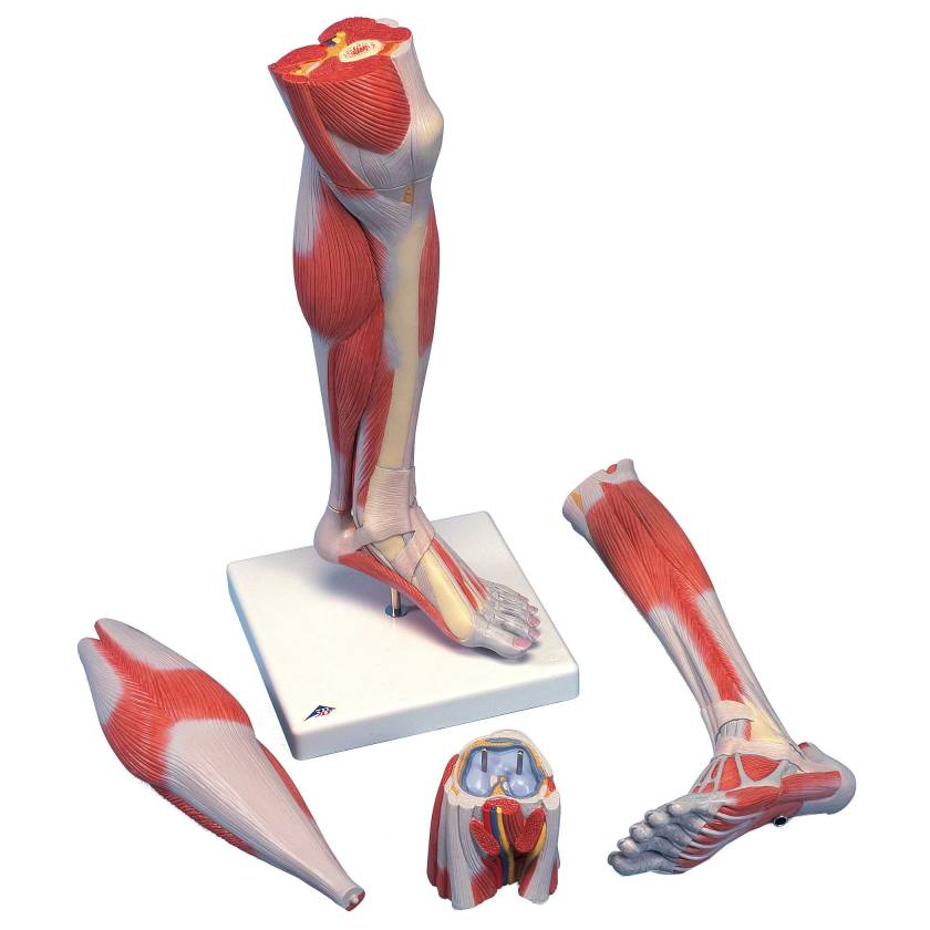 Lower Muscled Leg with Detachable Knee Model 3-Part Life-Size