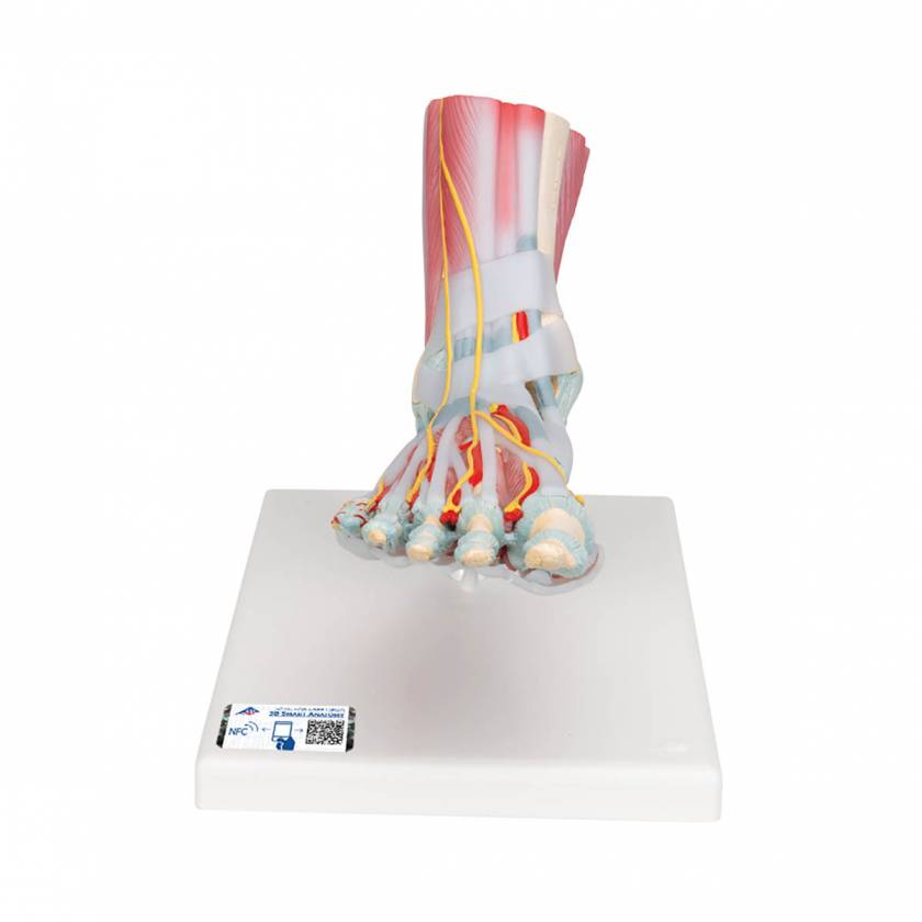M34-1 Foot Skeleton Model with Ligaments & Muscles - 3B Smart Anatomy