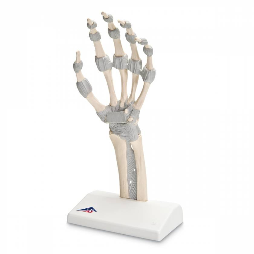 Hand Skeleton with Elastic Ligaments