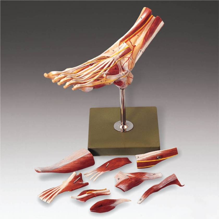 NS9 Muscles of the Foot Model
