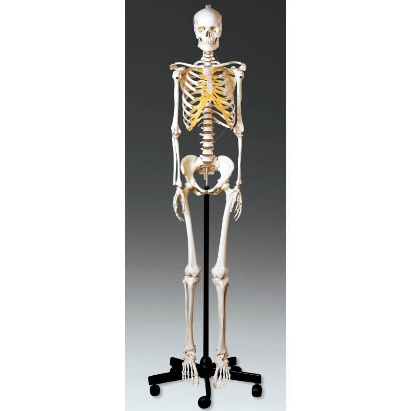 Adult Female Skeleton