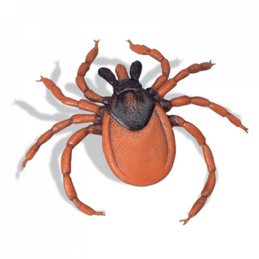 Castor-Bean Tick Model (Ixodes Ricinus)
