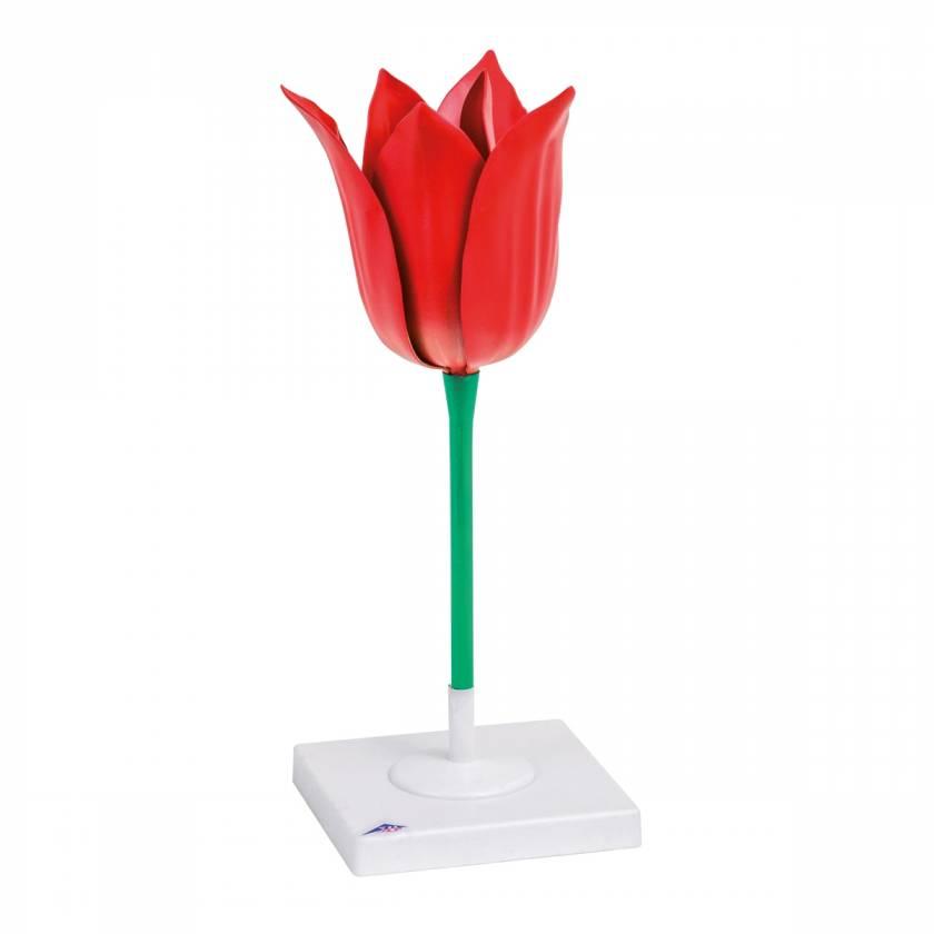Tulip Flower (Tulipa gesneriana) Model