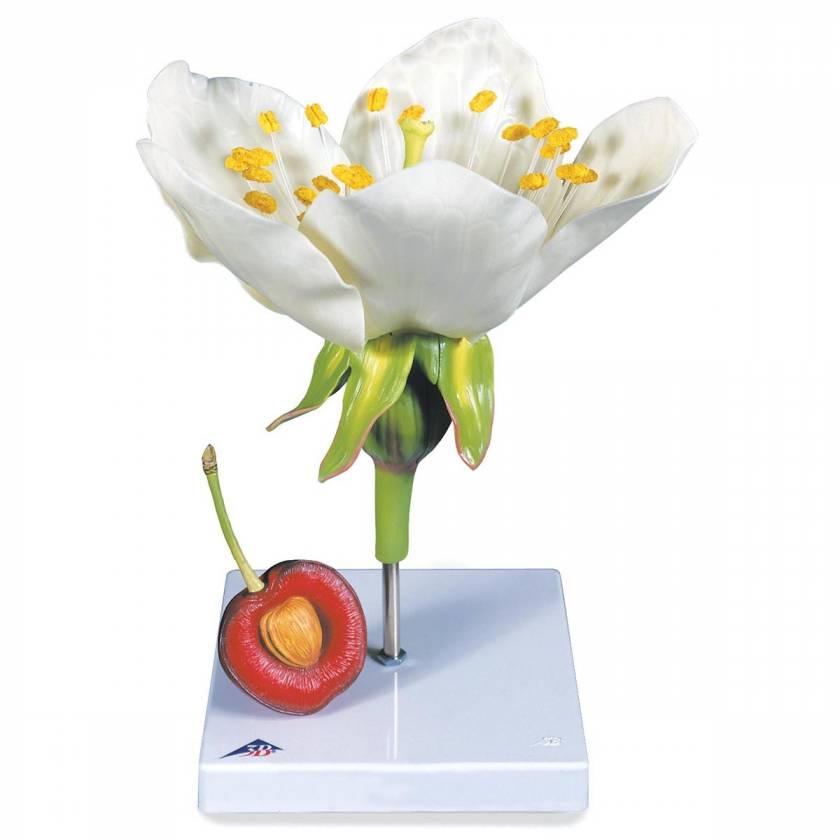 Cherry Blossom with Fruit (Prunus avium) Model