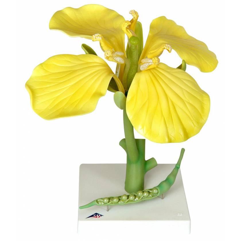 Canola (Brassica Napus ssp. Oleifera) Model - 12 Times Life-Size 3-Part