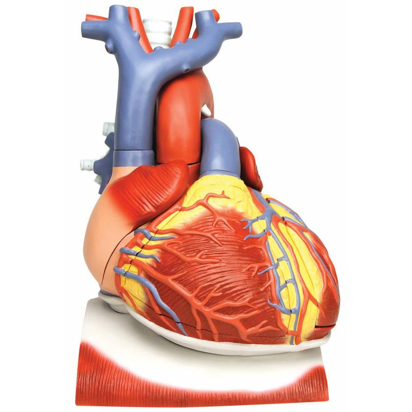 Heart on Diaphragm Model 3 Times Life-Size 10 Part