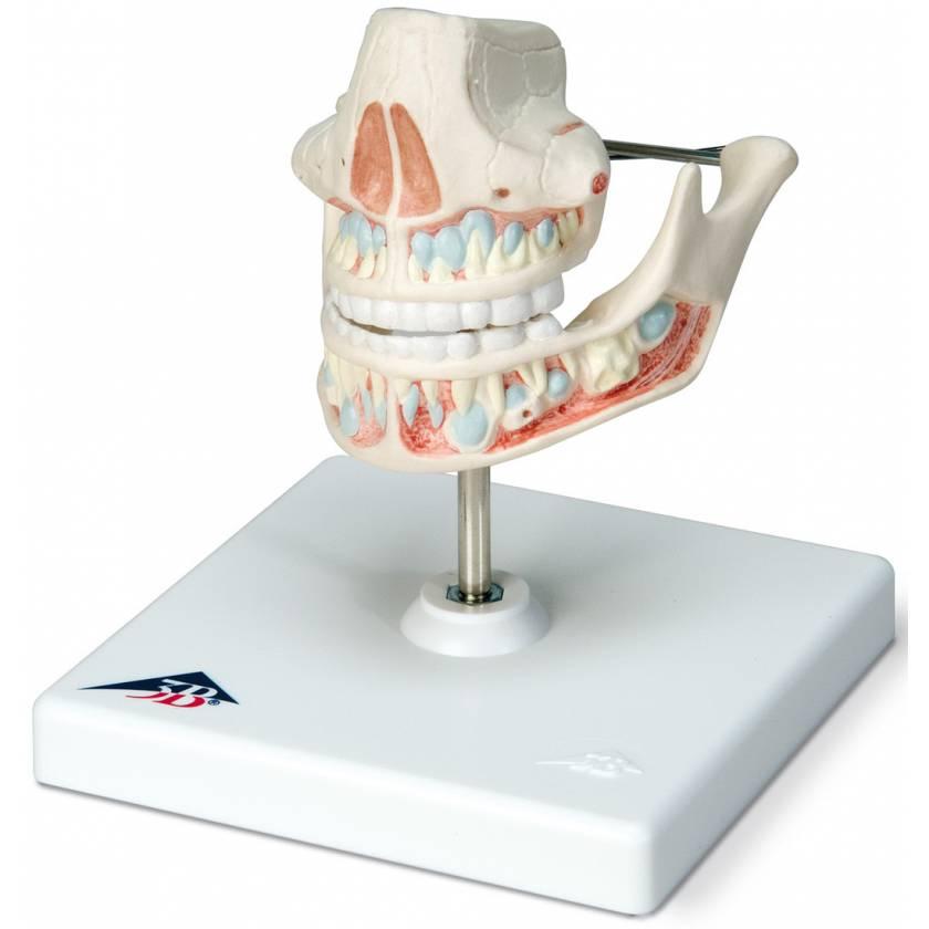 Milk Dentures Model