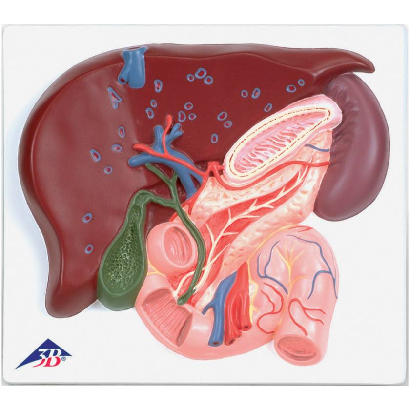 Liver with Gall Bladder Pancreas and Duodenum Model