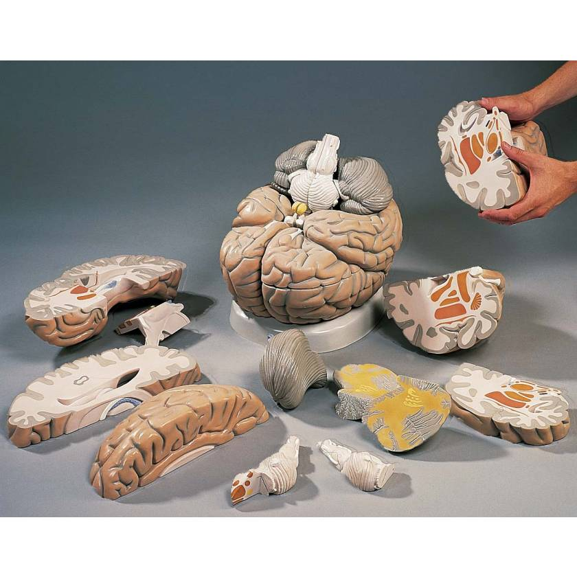 Giant Brain Model 14-Part 2.5 Times Full-Size