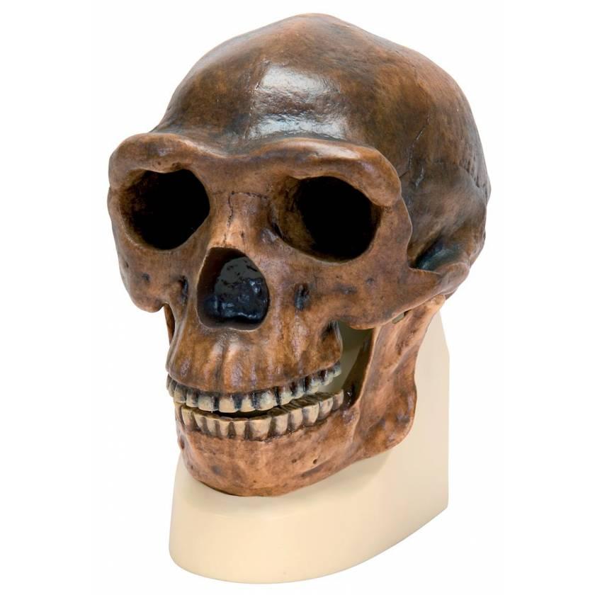 Anthropological Skull Model - Sinanthropus