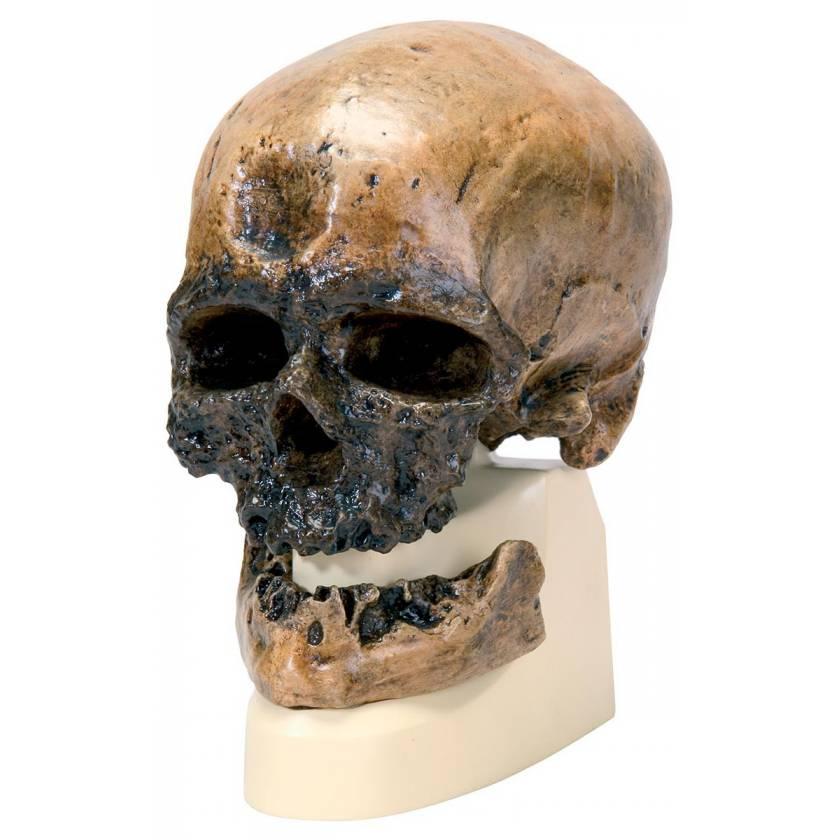 Anthropological Skull Model - Cro-Magnon