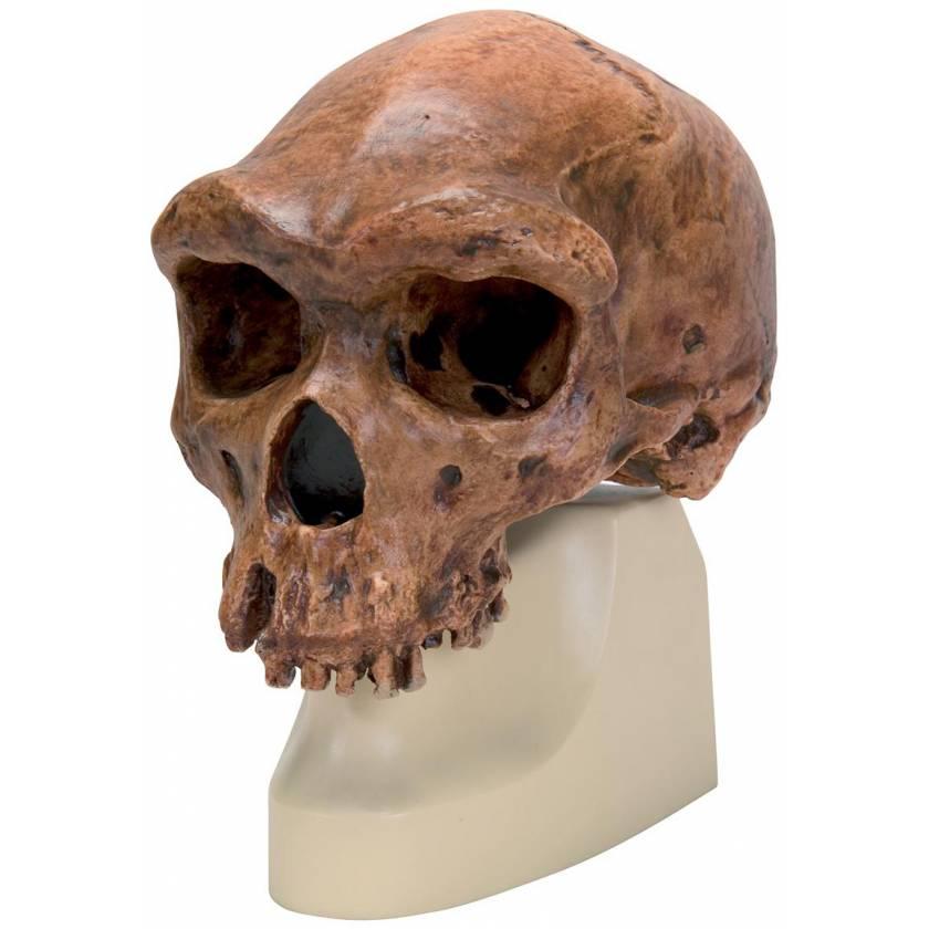 Anthropological Skull Model - Broken Hill or Kabwe