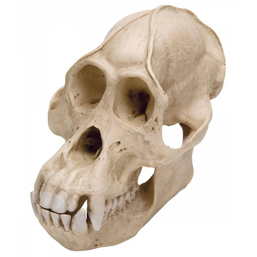 Orangutan Skull (Pongo Pygmaeus) Male Model