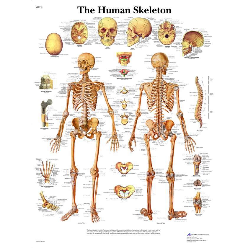 The Human Skeleton Chart