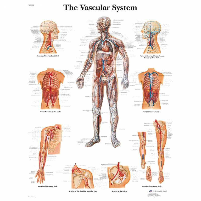 The Vascular System Chart