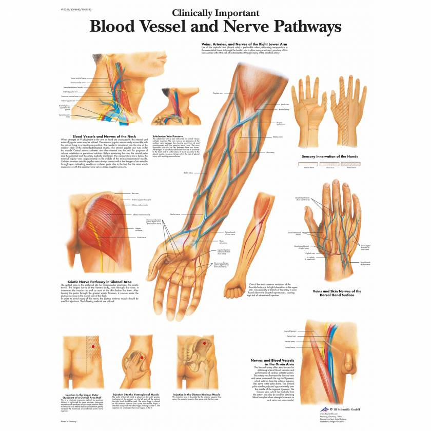 Blood Vessel, Nerve Pathways Chart