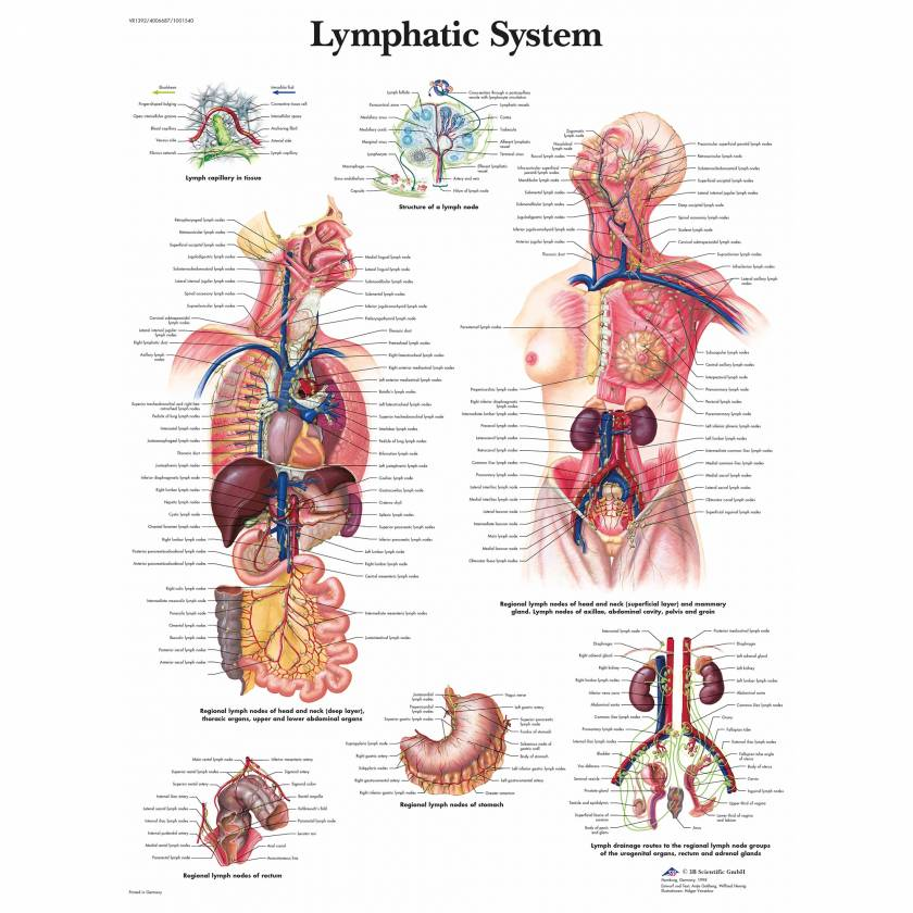 Lymphatic System Chart