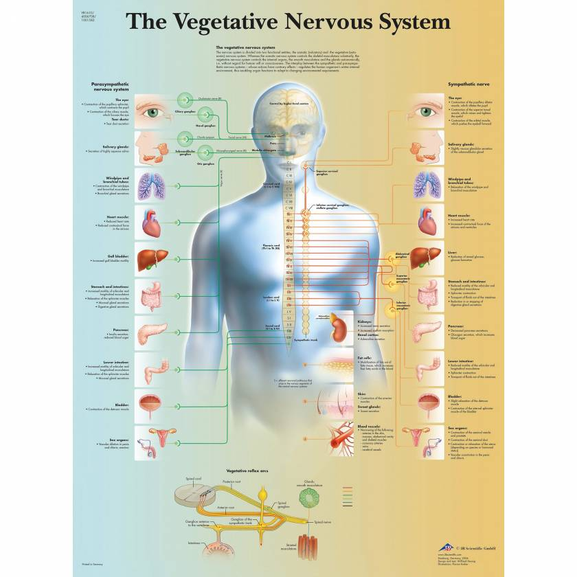 Vegetative Nervous System Chart
