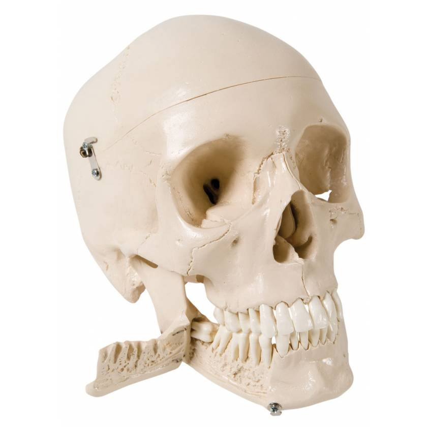 Skull Model with Teeth for Extraction - 4 Part