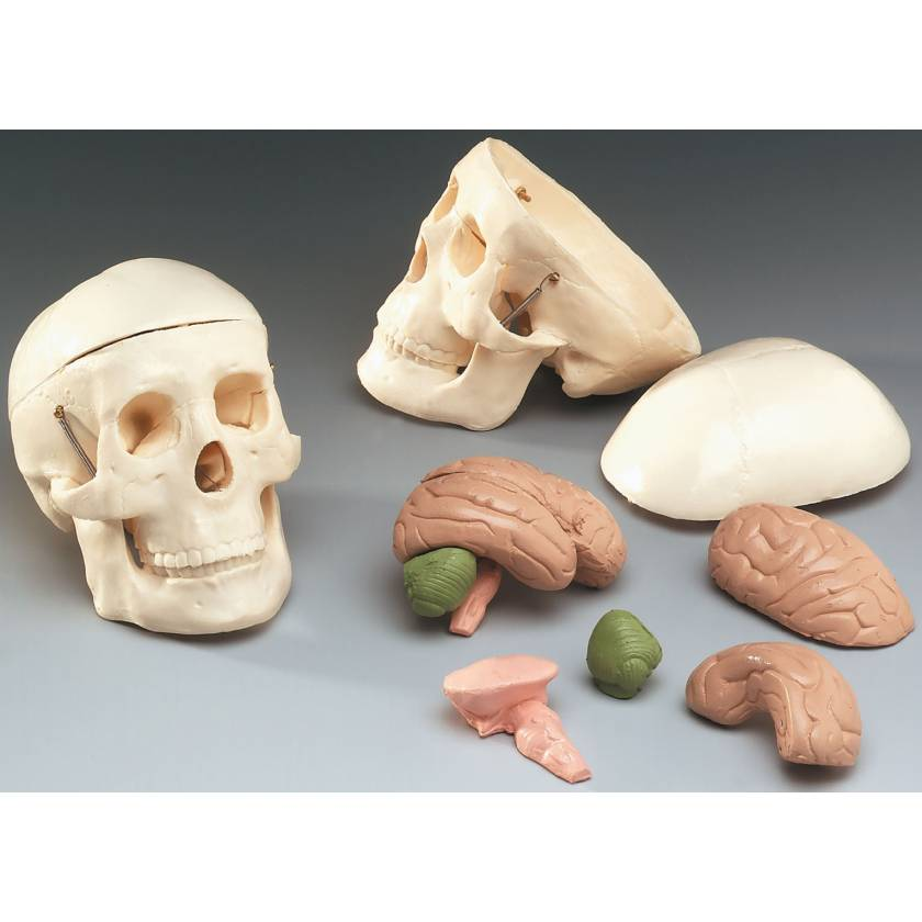 Mr Thrifty Miniature Skull with 8-Part Brain